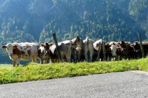 Ettaler Kühe im Ammergau
